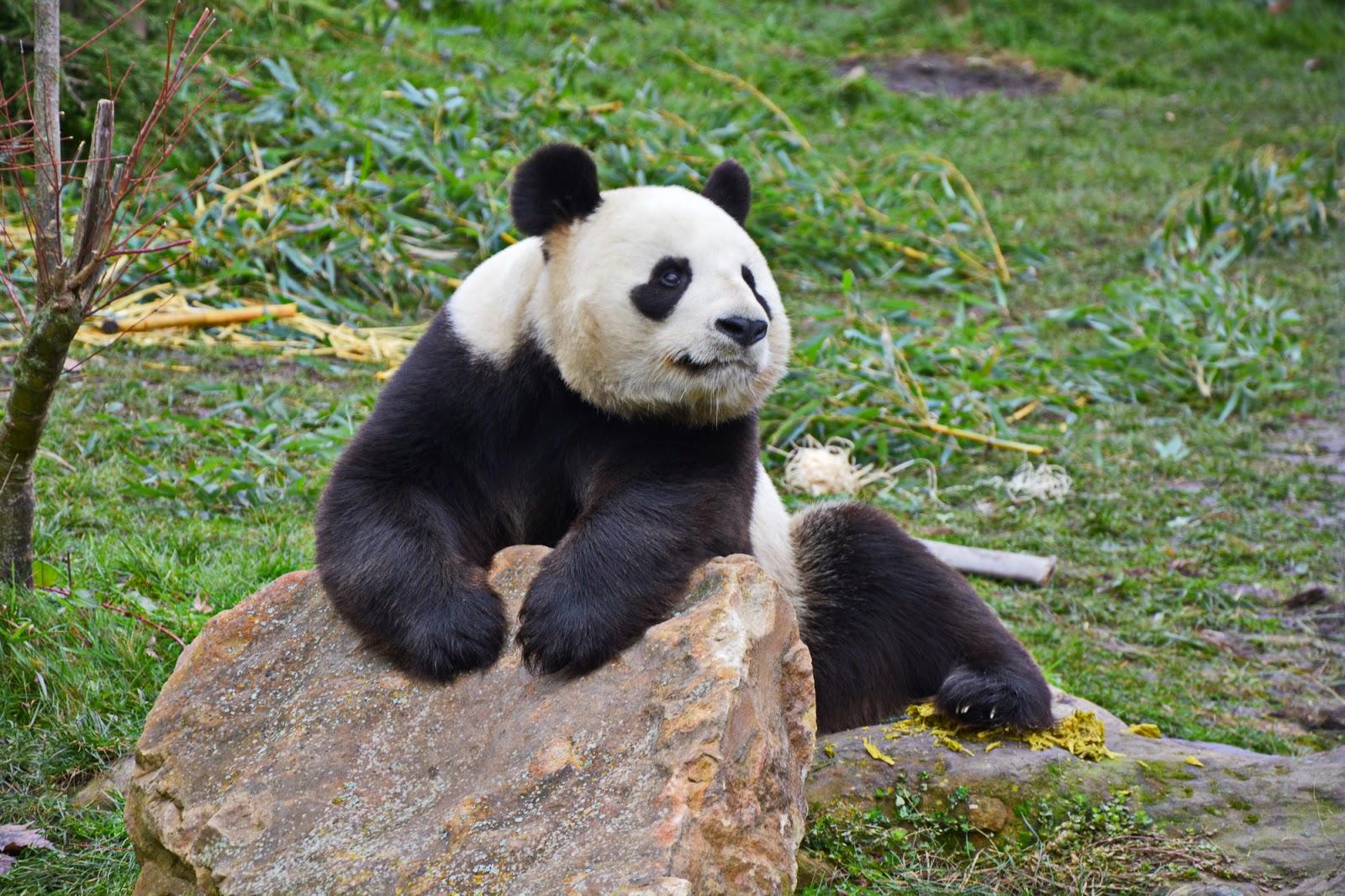 panda du zoopârc de beauval