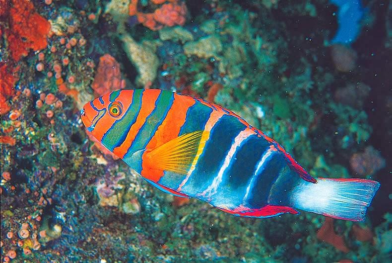 Rainbow fish melanotaeniidae tropical fish for Tropical rainbow fish