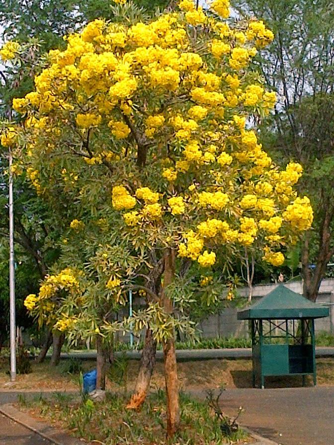 tanaman hias Pohon tabebuya kuning