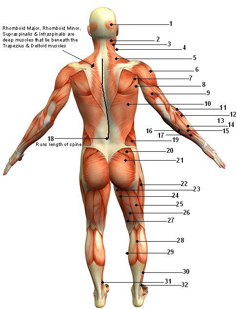 Health Care Human Back Bone Anatomy Pics