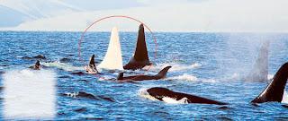 Misi mencari ikan paus berwarna putih
