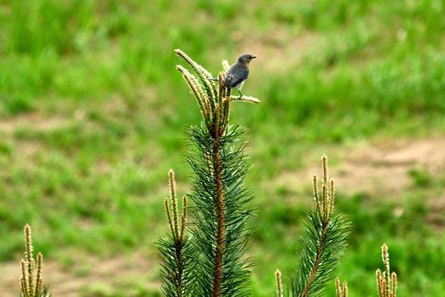 bluebird on pine tree
