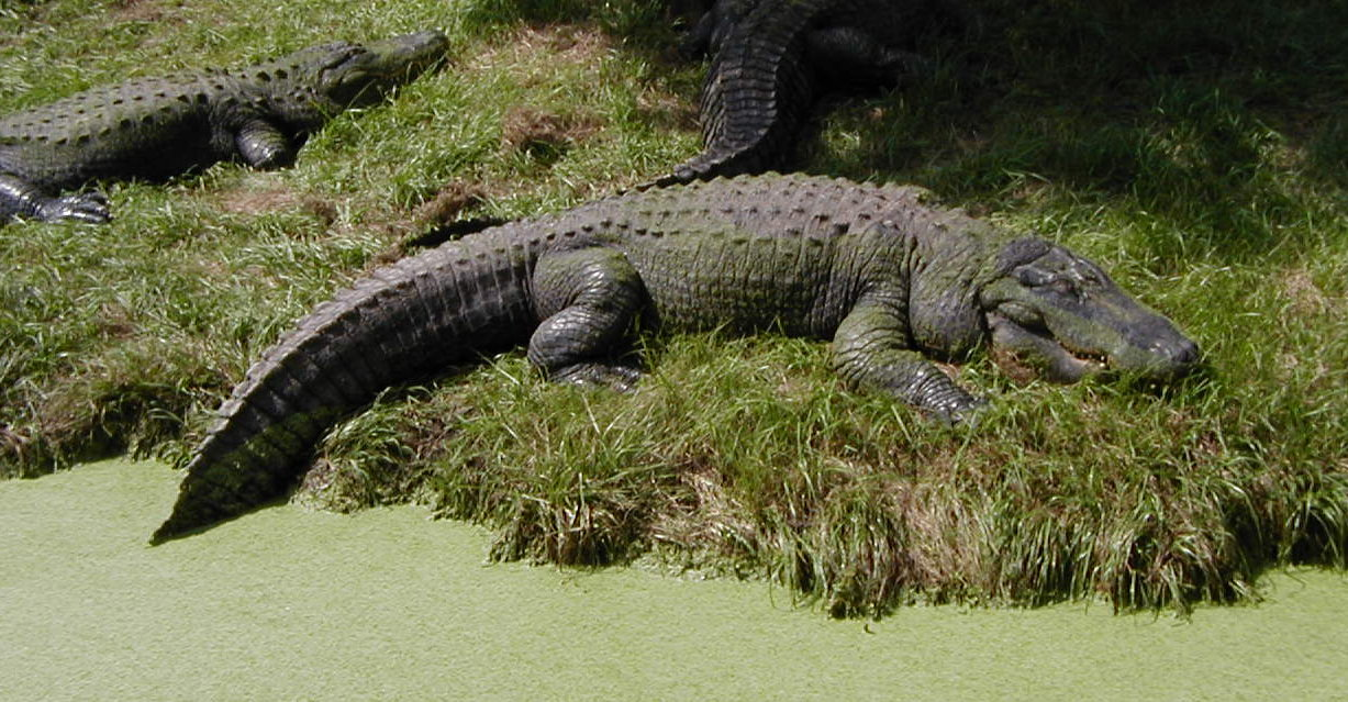 alligator animal wildlife