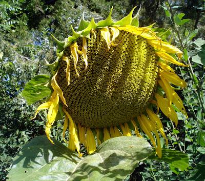 Foto Bunga Matahari Terindah