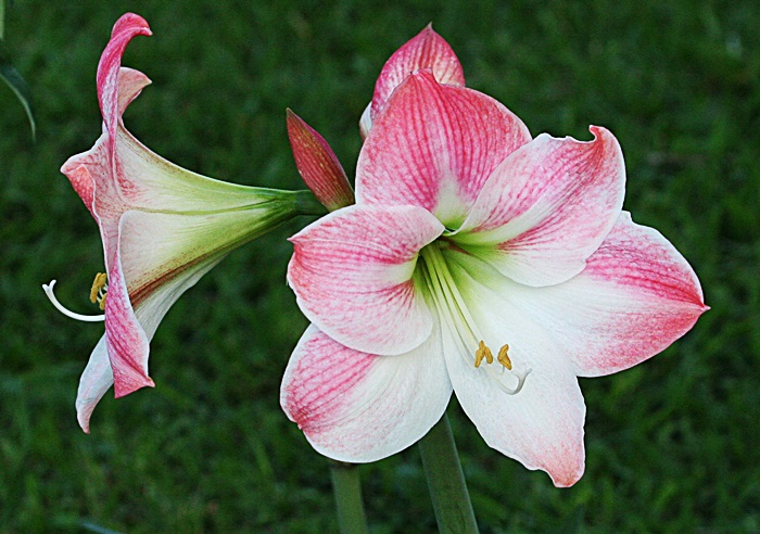 gardening with nature wordless wednesday first amaryllis. Black Bedroom Furniture Sets. Home Design Ideas