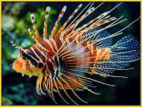 lionfish images