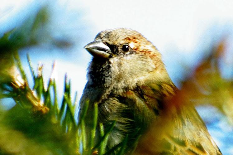 vrabček_1