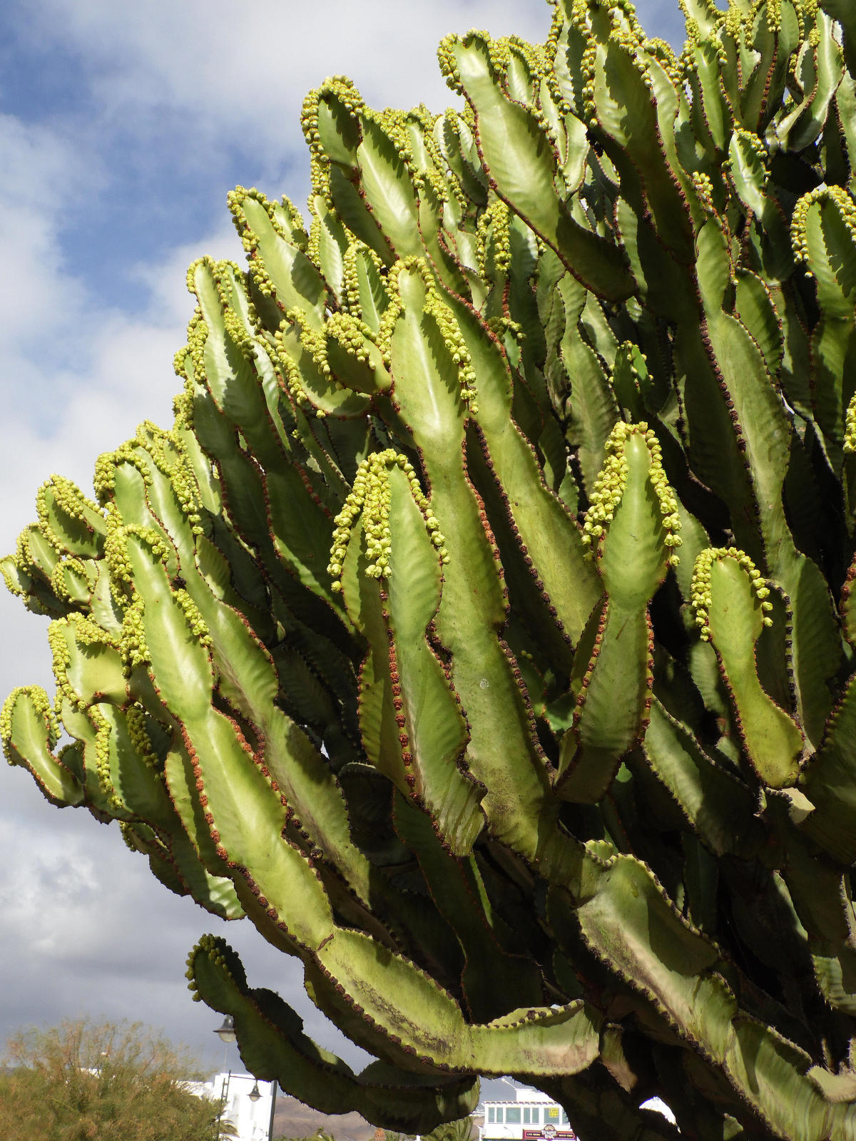 Random Jottings Lanzarote Plants