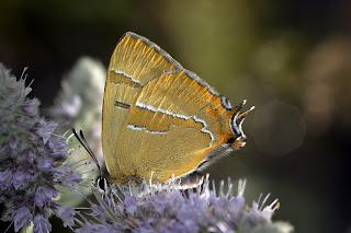 Thecla betulae (mariposa topacio)