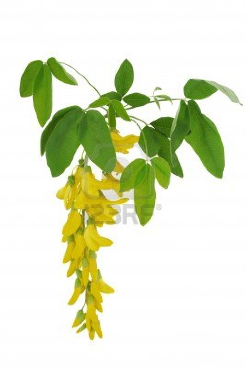 acacia confusa as an alternative antibacterial One of the examples is acacia confusa,  on this study we use the bark of the acacia tree as the raw material to produce an alternative antibacterial agent against.