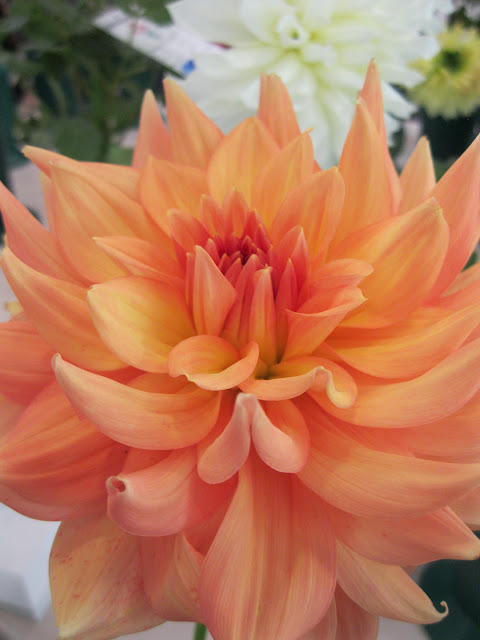 Dahlia Honeymoon