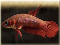 Wine Red Fighting Betta Fish Pictures