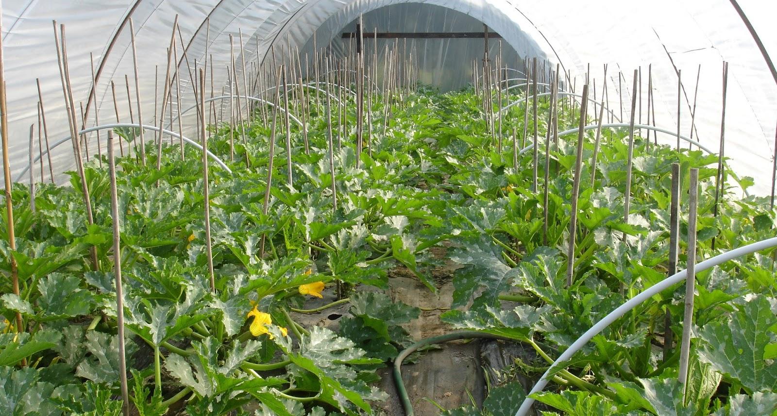 Выращивание кабачков на даче: лучшие сорта, посадка и уход