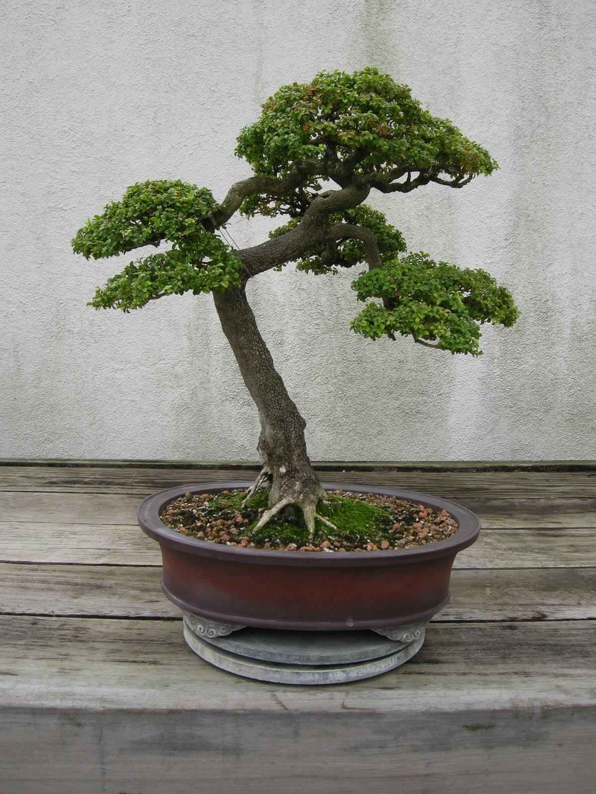Constant Gardener US National Bonsai Amp Penjing Museum