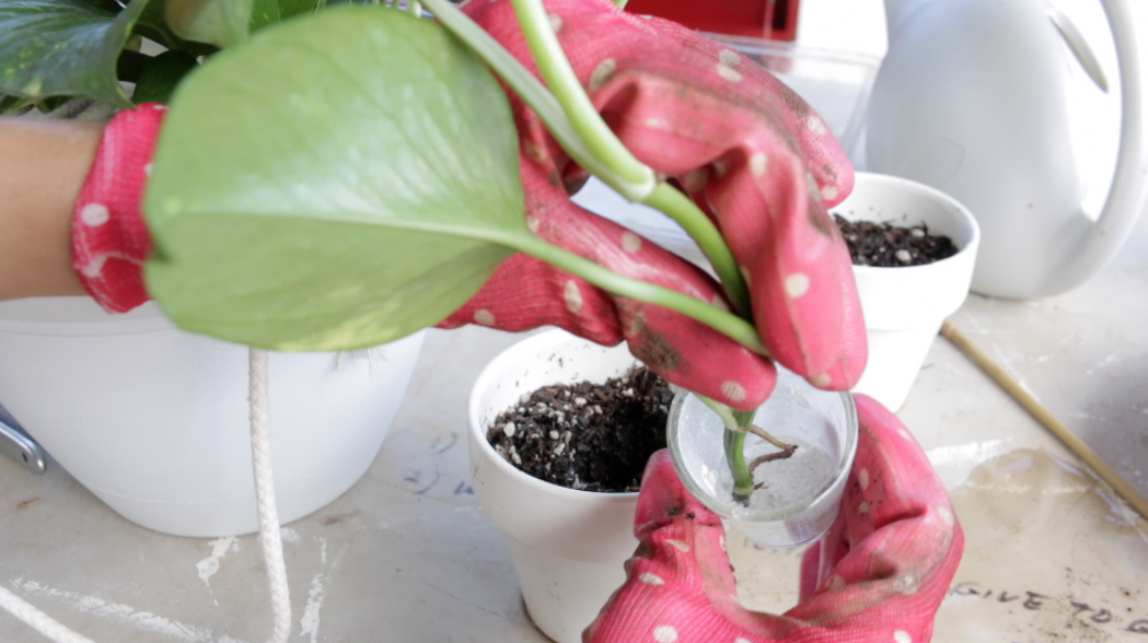 How To Use Rooting Hormone On Cuttings