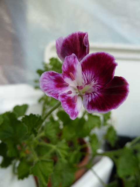 Over winter scented Pelargonium
