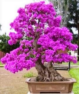 bonsai kembang kertas
