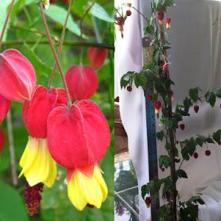 Jual tanaman rambat berbunga Cherrybelle | sulier aneka tanaman rambat berbunga