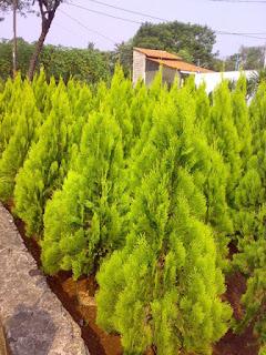 pohon cemara kipas