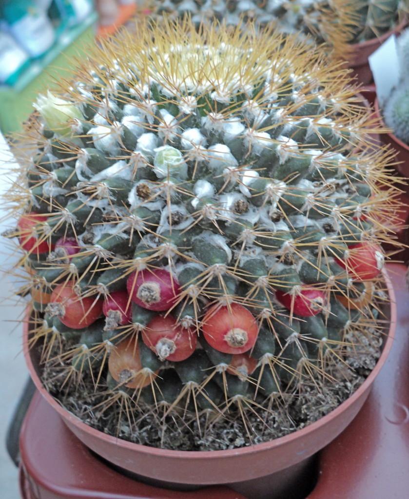 Viveros vangarden cact ceas y suculentas for Vivero de cactus