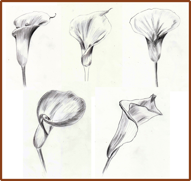 how to draw a calla lily method 1
