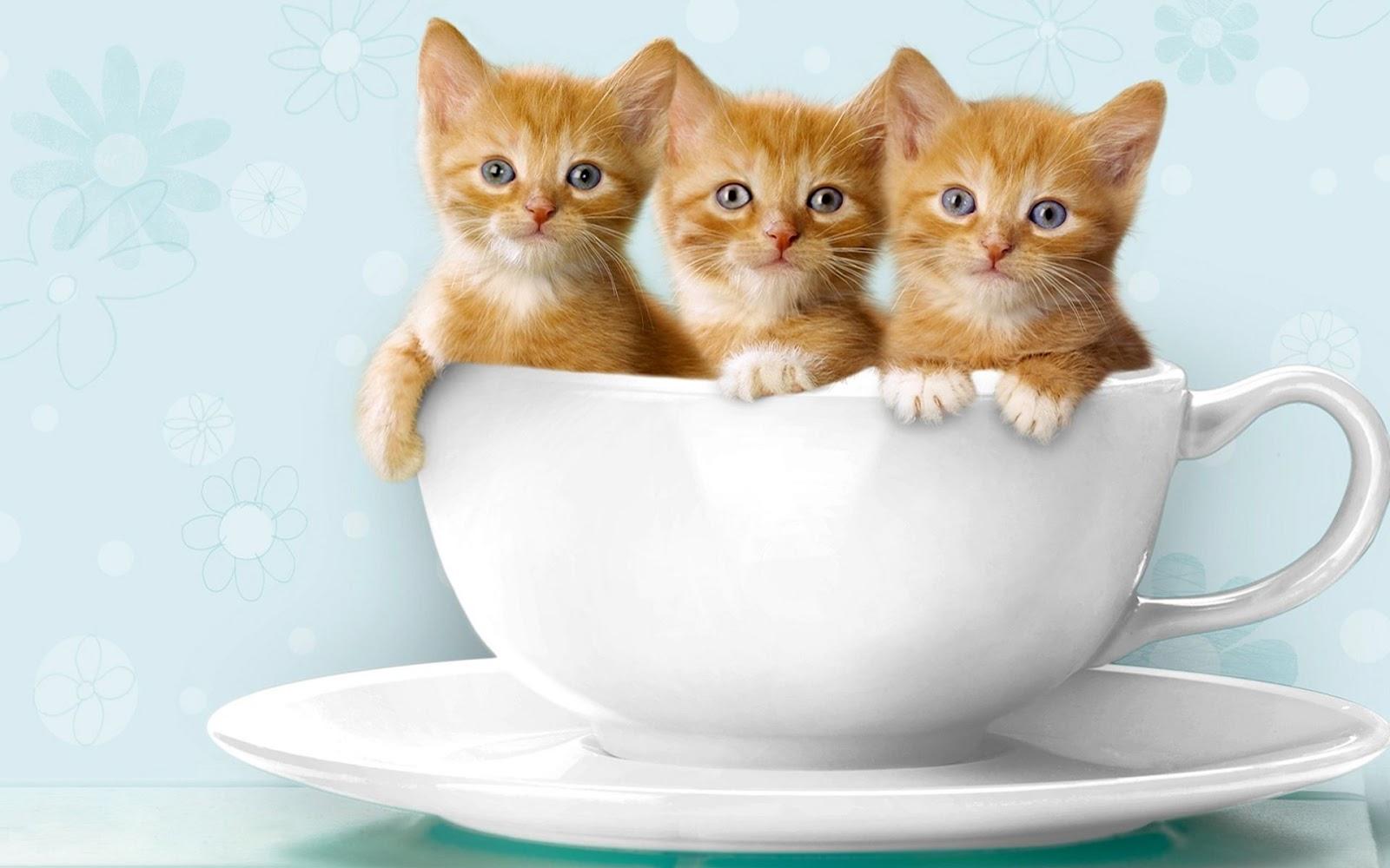 wallpaper kucing lucu dan imut foto kucing imut kucing lucu