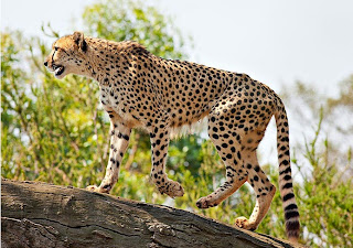 Ciri Ciri Cheetah