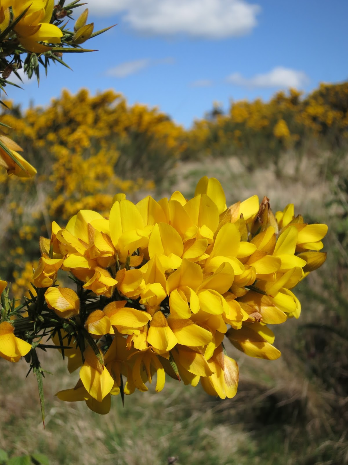 Close up of gorse in flower.