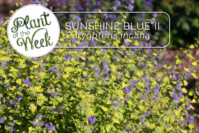 Plant of the Week: Sunshine Blue II bluebeard