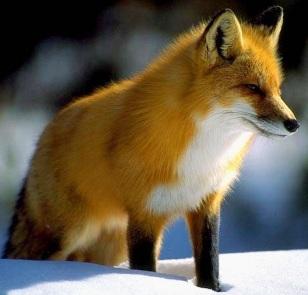 Zorro rojo o zorro común