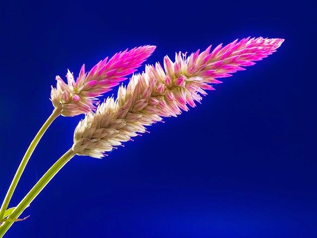 Fleur - Josch13 - http://pixabay.com/fr/fleur-fleur-sauvage-fermer-218483/