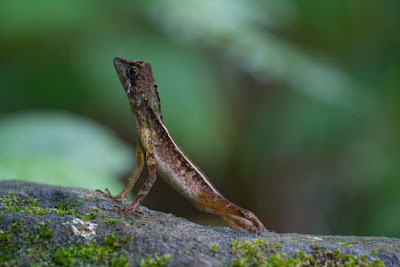 A Sri Lankan Kangaroo Lizard photographed in Sinharaja, Sri Lanka
