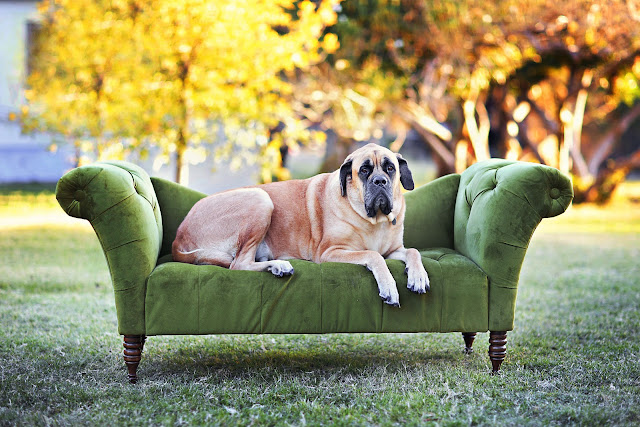 Mastiff dog poses on a chaise at a grassy Tucson park