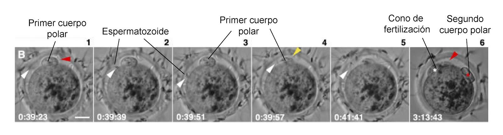 Fertilización in vitro con la aparición del segundo cuerpo polar y el cono de fertilización