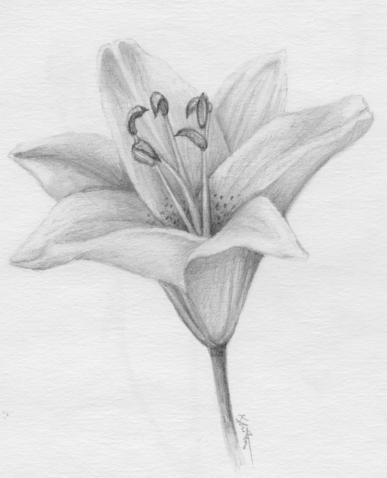 Tuesday  January 31  2012Lily Flower Drawings In Pencil