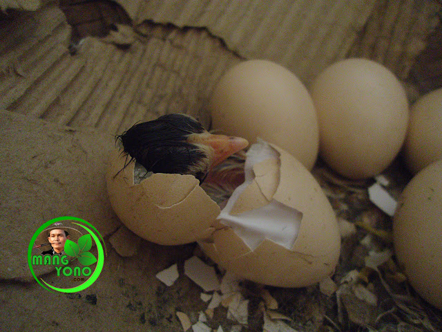 FOTO : Anak ayam keluar dari telur yang menetas