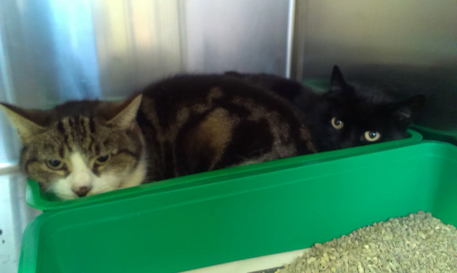 tabby cat and black cat laying in a litter tray