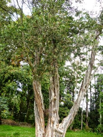 Tanaman Gelam atau Kayu putih, yang dimanfaatkan minyaknya, dapat digunakan sebagai obat