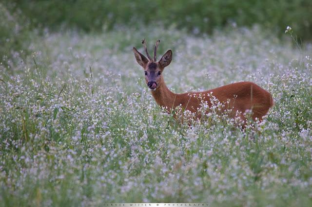 Ree eet Wilde Radijs op bloeiende akker- Roe Deer eats Wild Raddish in flowering field - Capreolus capreolus
