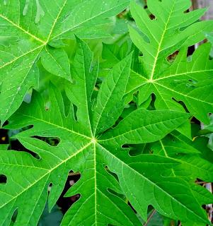 Cara termudah menghilangkan rasa pahit daun pepaya
