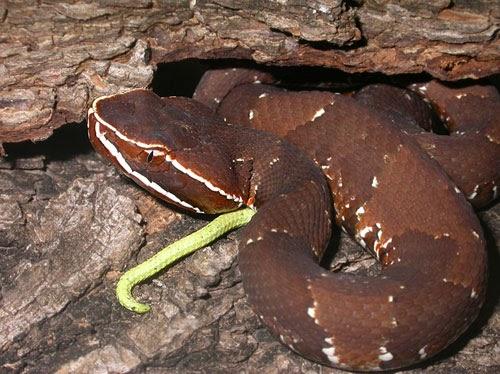 Cazador de serpientes serpiente por la vagina - 1 part 1