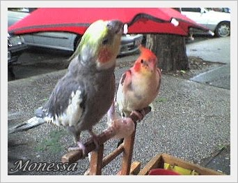 Sorsjegy húzó papagájok :)