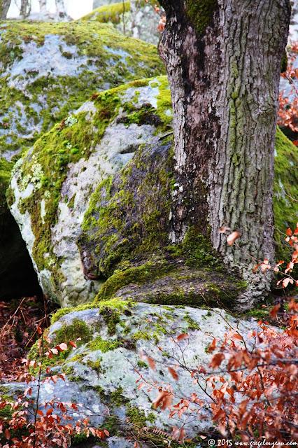 Chêne sur rocher, Gorges d'Apremont, Fontainebleau, (C) 2015 Greg Clouzeau
