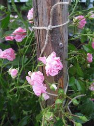 Vacker ros på landet