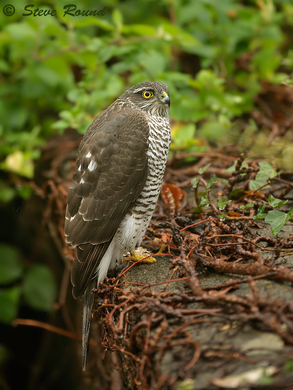 bird, bird of prey, raptor, nature, wildlife, hawk