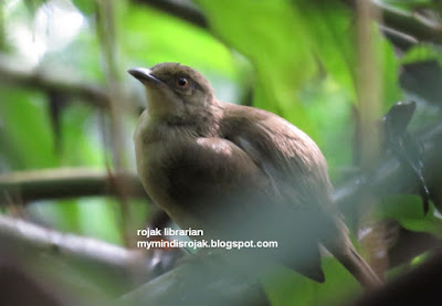 Red-Eyed Bulbul in Dairy Farm Nature Park