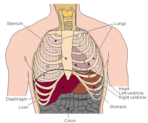 Biochemistry Class Notes Cardiac Anatomy Basic
