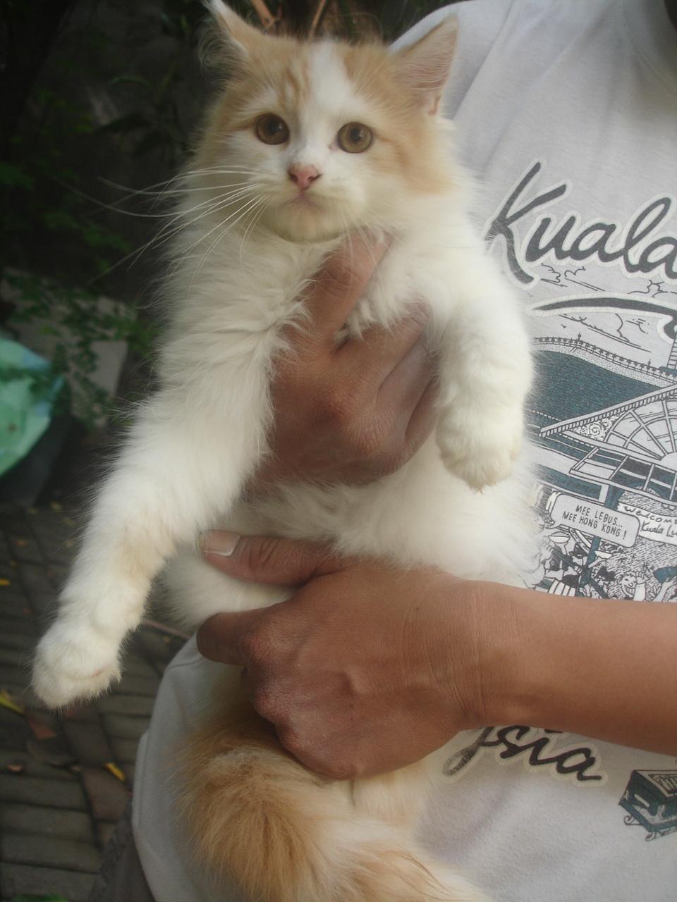 Hamster Dan Kucing Persia Murah Surabaya Di Jual Kucing
