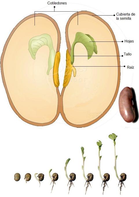 que contiene una semilla