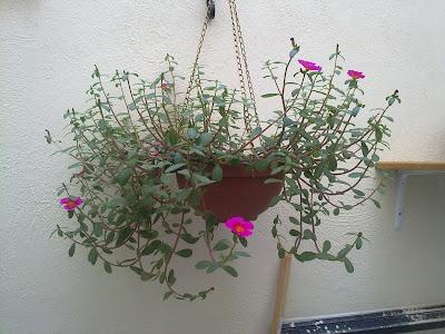 portulaca grandiflora, trim